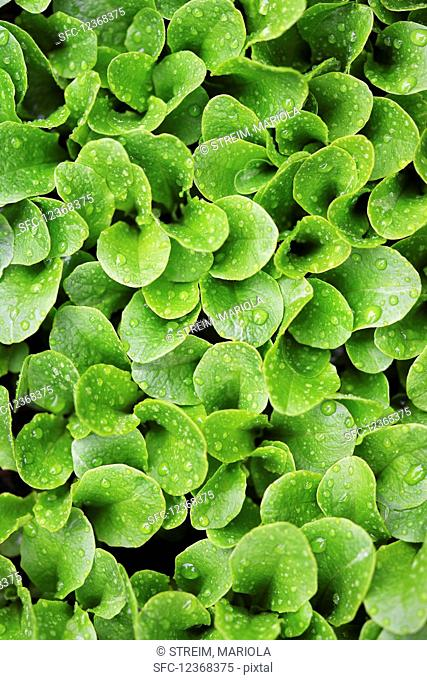 Green lettuce leaves with water droplets in the vegetable patch