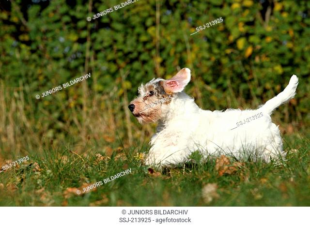 Sealyham Terrier. Puppy running on a meadow. Germany