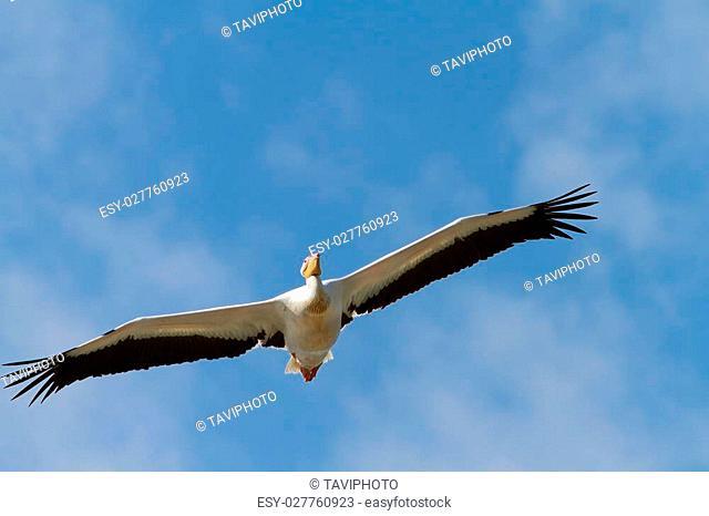 great pelican flying towards the camera over blue sky ( Pelecanus onocrotalus )