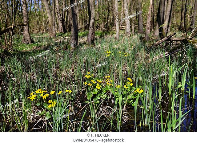 marsh marigold (Caltha palustris), swamp forest with alder, marigold an Iris, Germany