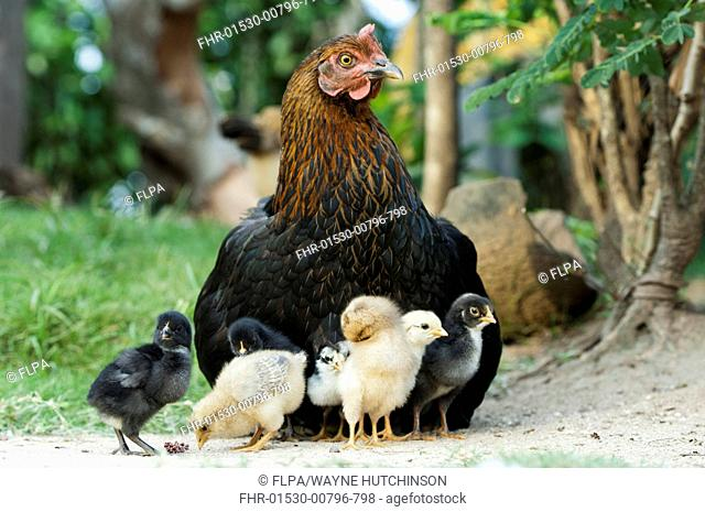 Domestic Chicken, hen with chicks, Uganda, June