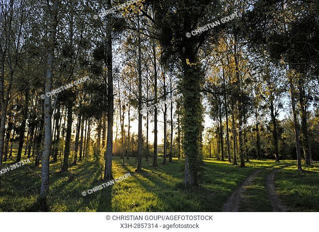 poplar grove, Eure Valley, Eure-et-Loir department, Centre-Val de Loire region, France, Europe