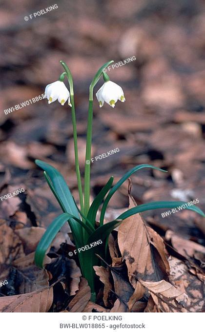 spring snowflake Leucojum vernum, blooming, Germany