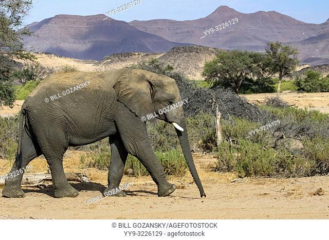 African Elephant (Desert-adapted) - Huab River, near Twyfelfontein, Damaraland, Namibia, Africa