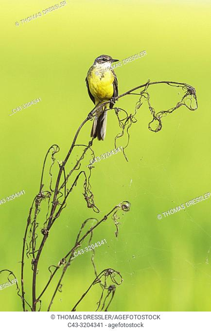 Yellow Wagtail (Motacilla flava). In a rice field. Environs of the Ebro Delta Nature Reserve, Tarragona province, Catalonia, Spain