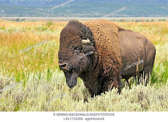 Buffalo Grand Teton National Park Wyoming WY United States