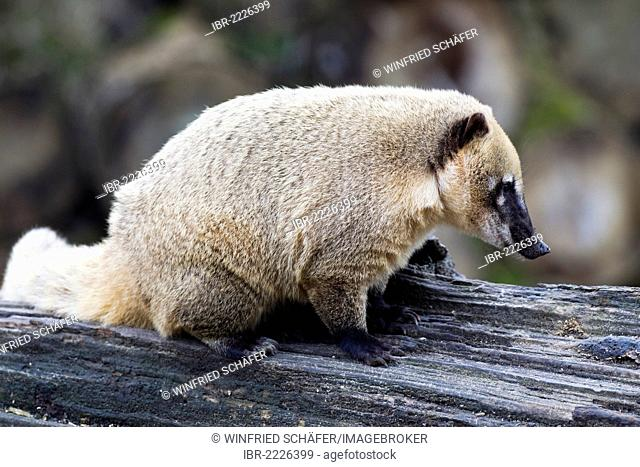 South American Coati or Ring-tailed Coati (Nasua nasua), Aachen Zoo, North Rhine-Westphalia, Germany, Europe