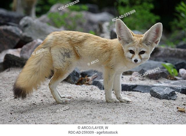 Fennec Fox Vulpes zerda side