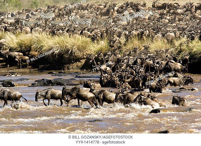 Great Migration at the Mara River - Masai Mara National Reserve, Kenya