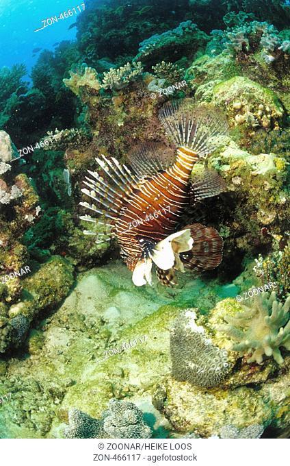 Feuerfisch, lionfish