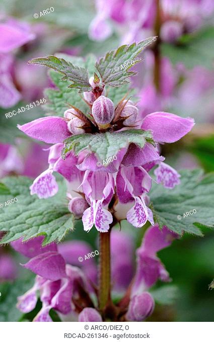 Red Dead-nettle Lamium purpureum Purple Deadnettle Purple Dead-nettle