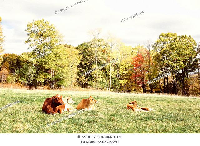 Cows resting on grass, Guilford, Vermont, USA