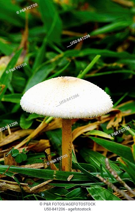 Mushroom, Basidiomycetes, Brazil