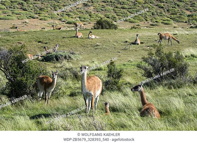 A family group of guanacos (Lama guanicoe) in Torres del Paine National Park in southern Chile