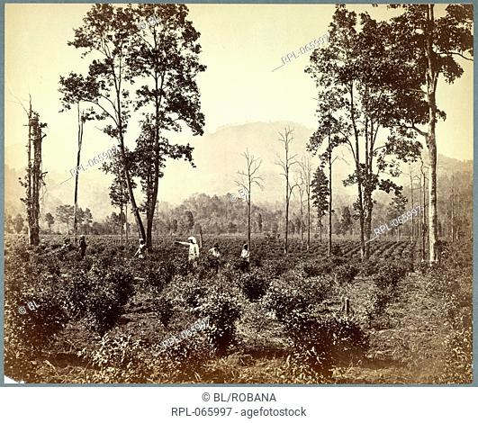 Plantation of the Terai Tea Association, Darjeeling. Looking across planted-out fields, with a European overseer directing pickers