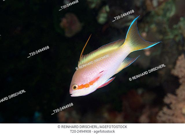 Red cheeked anthias, Pseudanthias huchtii, Florida Islands, Solomon Islands