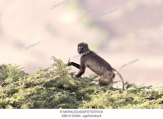 Africa, Ethiopia, Rift Valley, Debre Libanos, Gelada or Gelada baboon (Theropithecus gelada), eating fruit of acacia
