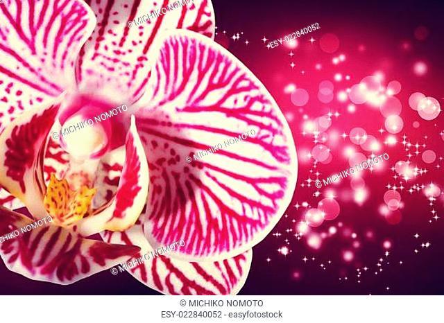 Orchid on shiny magenta background
