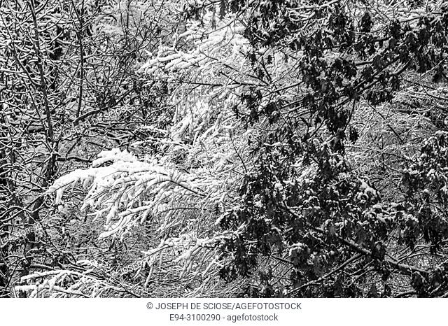 Snow on the branches of trees during a storm. Birmingham, Alabama, USA