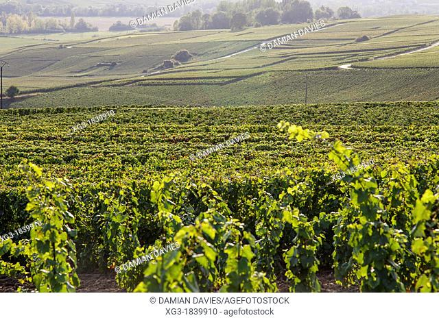 Vines and landscape in the Champagne region near Hautvillers, Epernay, Champagne, France