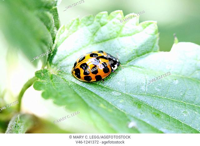 Cream-streaked Ladybird, Harmonia quadripunctata  Marking on pronotum is abmormal or not complete  Red ladybird with dark markings  Specimen looks very close to...