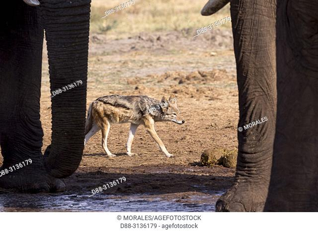 Africa, Southern Africa, Bostwana, Savuti National Park, Black-backed jackal (Canis mesomelas), adult drinking between elephant legs
