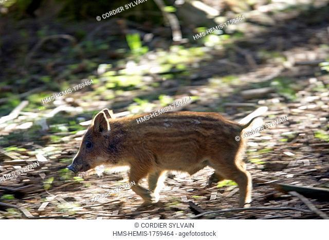 France, Haute Saone, Private park, Wild Boar ( Sus scrofa ), piglet running