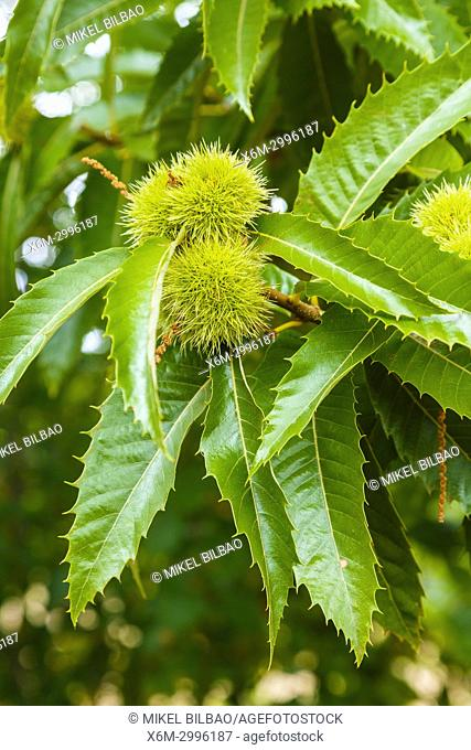 Leaves and chestnuts. Sweet chestnut (Castanea sativa). Antoñana, Campezo. Cuadrilla de Campezo-Montaña Alavesa. Alava, Basque Country, Spain, Europe