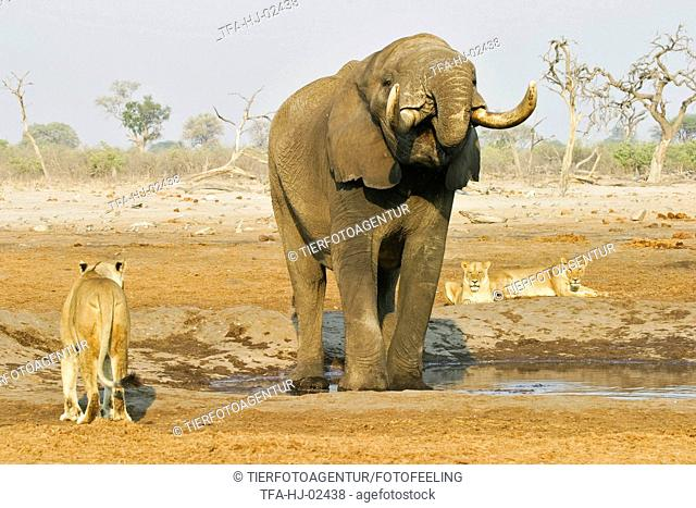African Elephant and lions