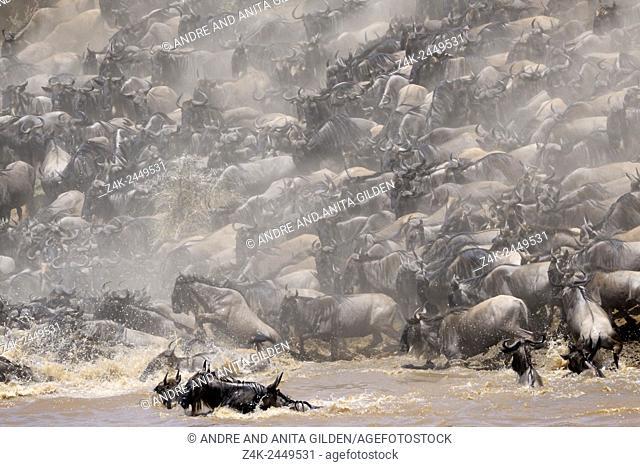 Herd of Blue Wildebeest (Connochaetes taurinus) crossing the Mara River, Serengeti national park, Tanzania