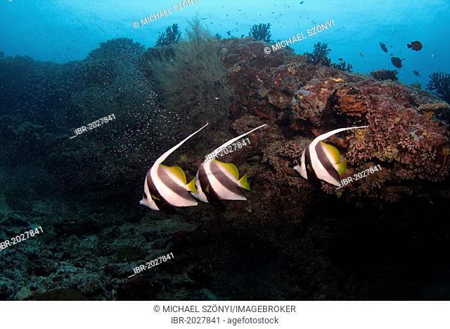 Pennant Coralfish, Longfin Bannerfish or Coachman (Heniochus acuminatus), Maldives, Indian Ocean