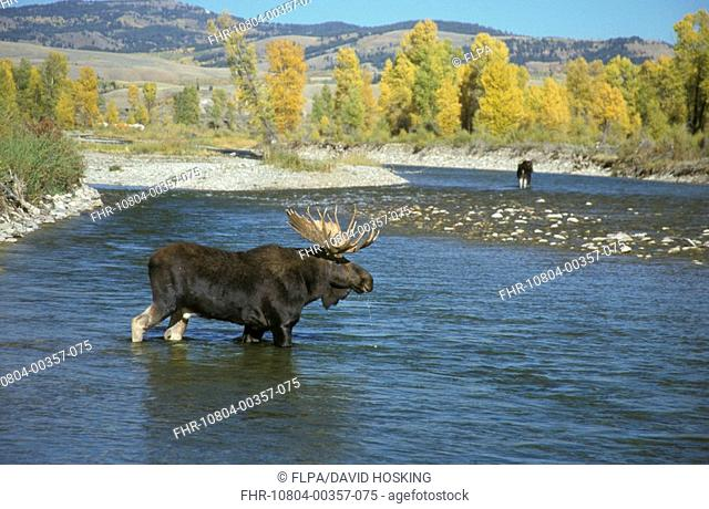 Bull Moose Alces alces crossing the Gros Ventre River between Grand Teton Nat Pk and the National Elk Re