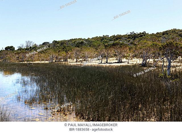 Paperbark trees (Melaleuca) and coastline, Broke Inlet, Western Australia