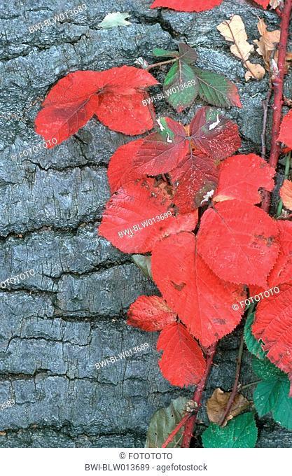 shrubby blackberry Rubus fruticosus, autumn foliage