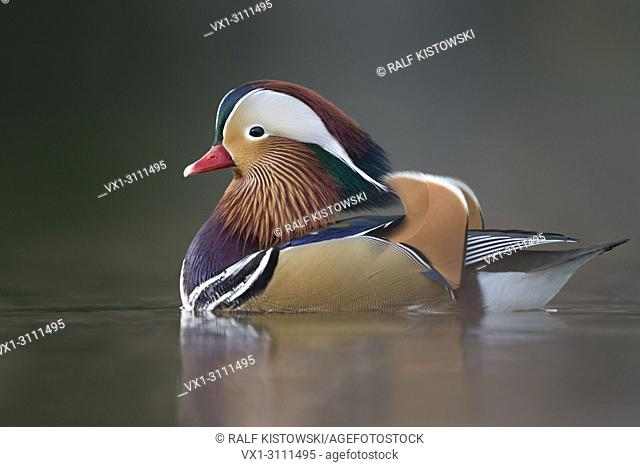Mandarin Duck / Mandarinente ( Aix galericulata ), colorful drake in breeding dress, swims close, windstill day, in last light, nice reflections, Europe
