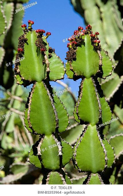 Transvaal caldelabra tree (Euphorbia cooperi), with fruits, Canary Islands, Gran Canaria