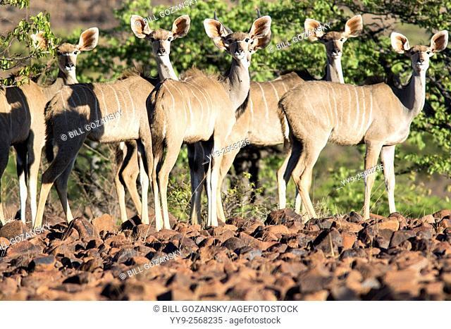 Greater kudu (Tragelaphus strepsiceros) - Omatendeka Conservancy - Damaraland, Namibia, Africa