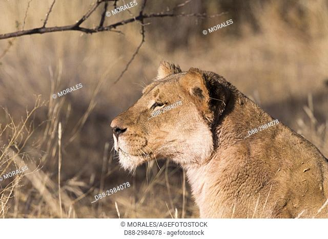 Africa, Southern Africa, South African Republic, Kalahari Desert, lionesse (Panthera leo), resting in the savannah