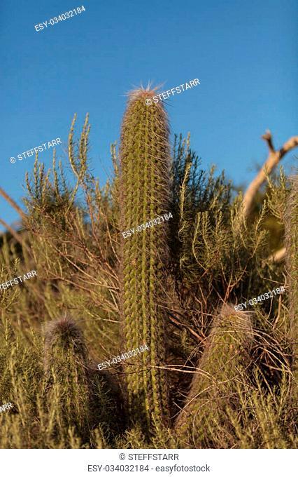 Saguaro cactus Pachycereus grows tall in the hills above a Southern California marsh