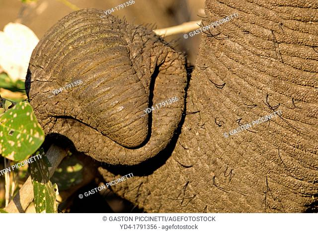 Trunk of an African Elephant Loxodonta africana, Kruger National Park, South Africa