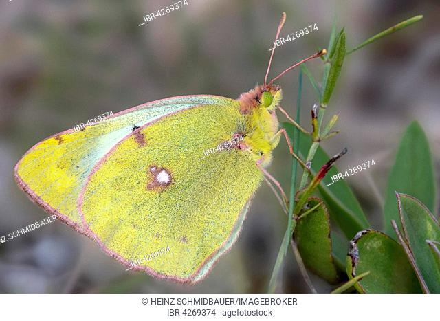 Pale Clouded Yellow butterfly (Colias hyale), Bavaria, Germany