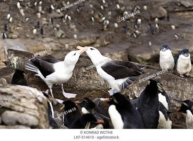 Black-browed Albatrosses, pair in rockhopper penguin-rookery, Diomedea melanophris, New Island, Falkland Islands, Falkland Islands, Subantarctic