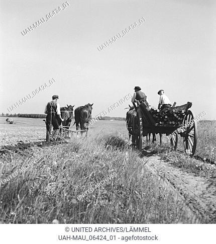 Ein Bauer bei der Arbeit auf dem Feld mit seinen Ackergäulen, Deutschland 1930er Jahre. A farmer at work on his field with his horses, Germany 1930s