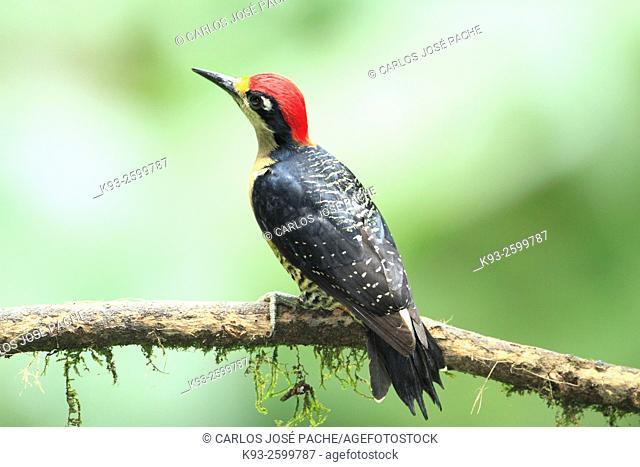 Carpinterito Carinegro (Melanerpes pucherani). Parque Nacional Volcán Arenal, Costa Rica