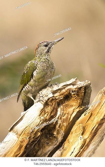 European green woodpecker (Picus viridis). Sierra de Guadarrama, Madrid province, Spain