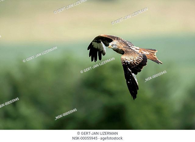 Red Kite (Milvus milvus) in flight against green trees, germany, eifel