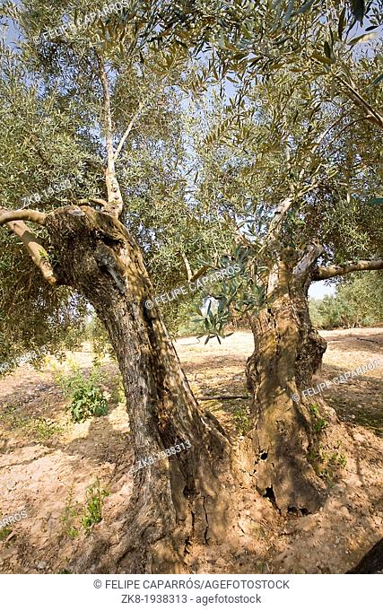 Detail of trunk of olive tree with more than hundred years, Jaen, Spain