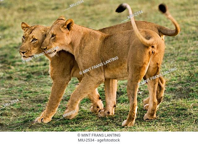 Lionesses greeting, Panthera leo, Luangwa Valley, Zambia