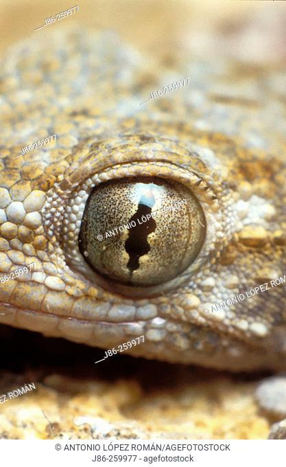 Gecko (Tarentola mauritanica)