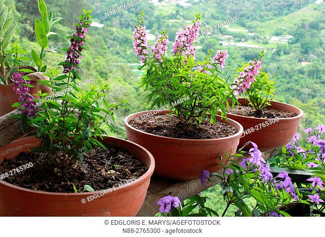 Lavender flowers on pot